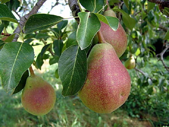 Pears growing on the tree