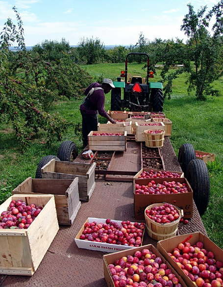 Fresh Apples Heading to the Store