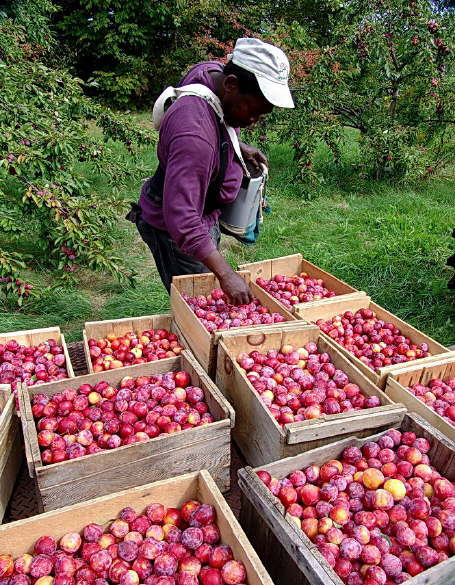 Apples Ready for Shipment
