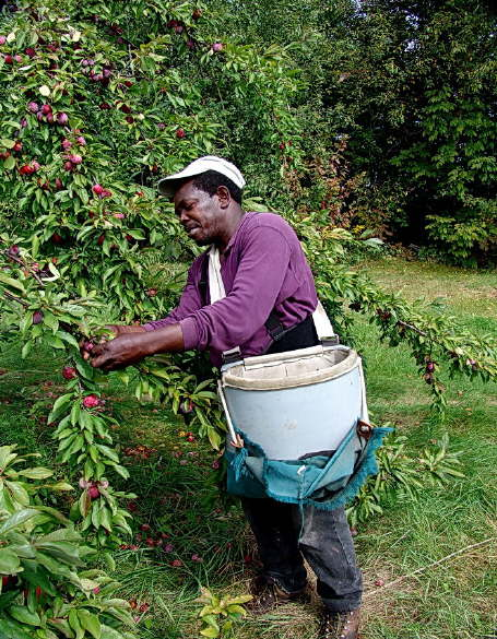Picking Apples for Sale
