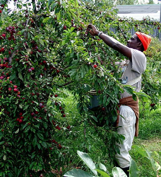 Harvesting the Apple Crop