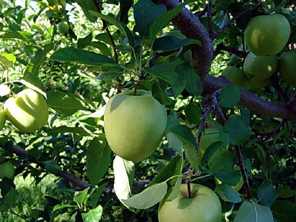 Apples Growing in the Orchard