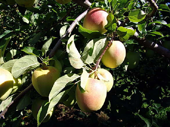 Corland Apples