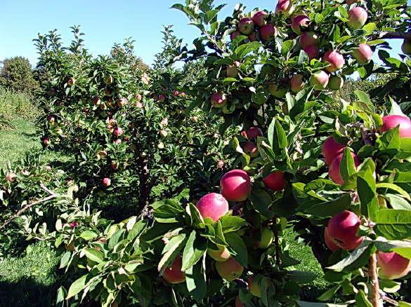 Healthy Apple Crop