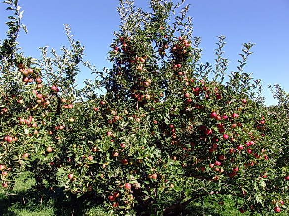 Orchard in Fairfield, Maine