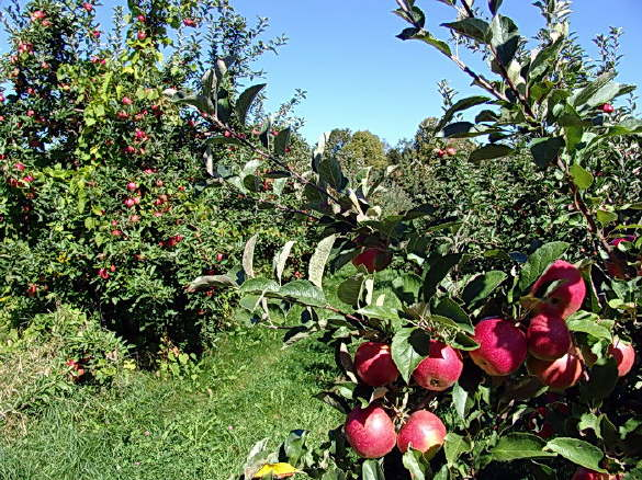 Pick Your Own Apples in Fairfield Maine