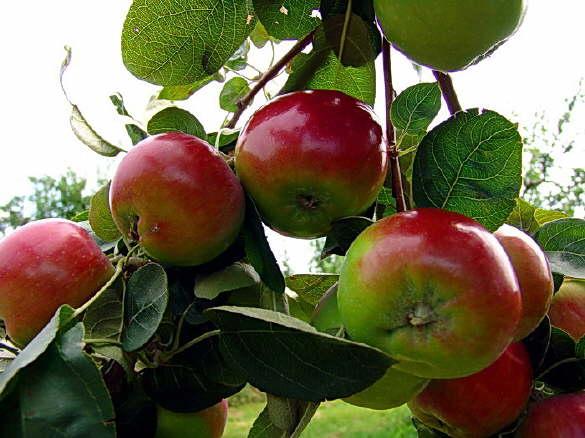Apple Growing Season