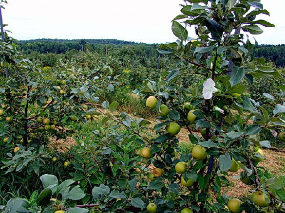 View of the Orchard at The Apple Farm