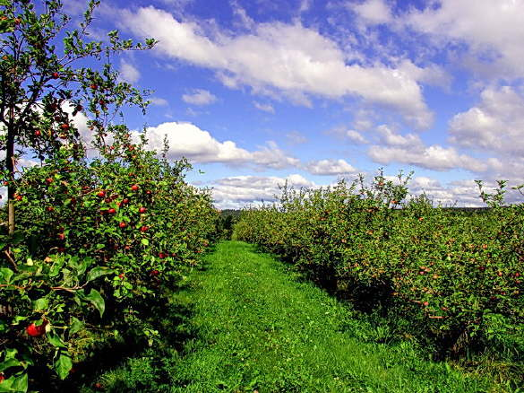View of the beautiful orchard in Fairfield, Maine