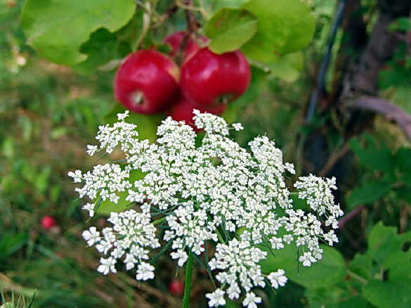 Ragweed and Apples